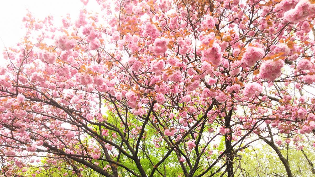 もう一つの名産【桜】